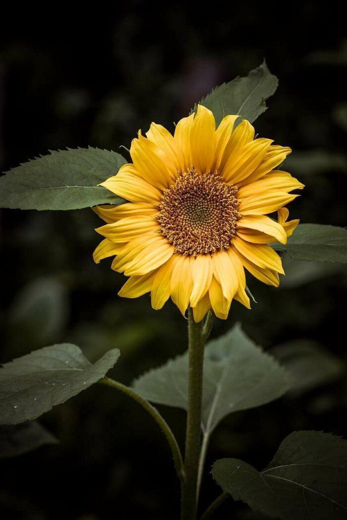 Sunflower - A.Brask