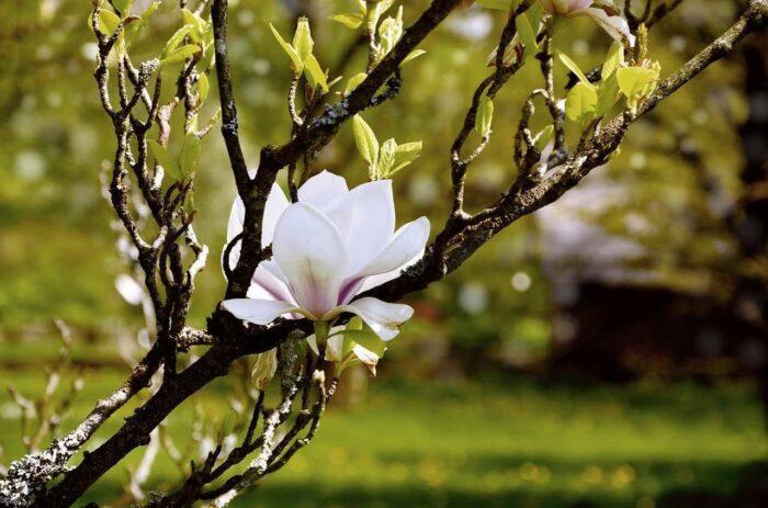 White flower magnolia - A.Brask