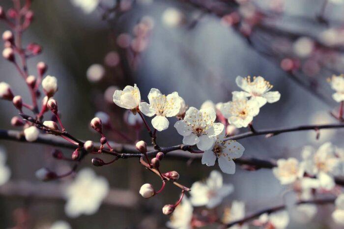 Flowering branch - A.Brask