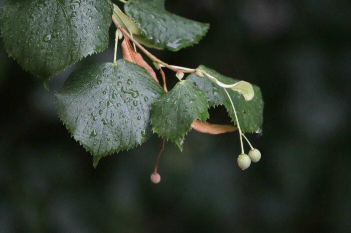 Linden tree leaf -A.Brask
