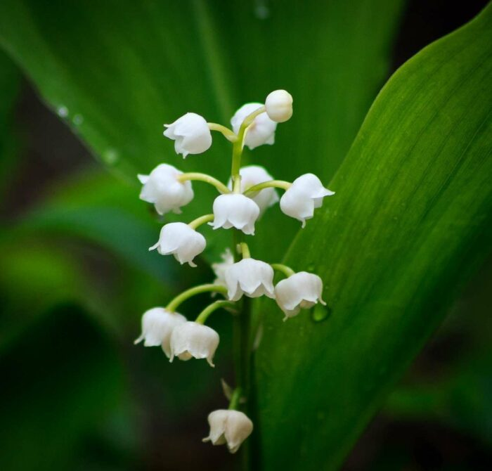 Lily of the Valley - A.Brask